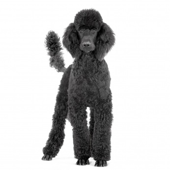 there are young dogs and there are old dogs and sorry but poodles are